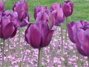 foreground: tulips