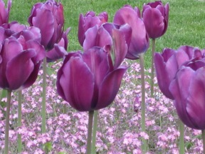foreground: tulips